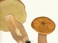 Boletus reticulatus Schaeff. , Sommer-Steinpilz