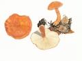 Cystoderma terrei (Berk. & Bromme) Harm., Zinnoberroter Körnchenschirmling