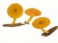Tricholomopsis decora (Fr.) Singer , Olivgelber Holz-Ritterling