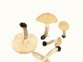 Chamaemyces fracidus (Fr.) Donk. , Fleckender Schmierschirmling