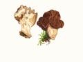 Gyromitra gigas (Krombh.) Cooke , Riesenlorchel