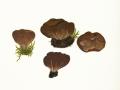 Helvella acetabulum (L.) Quél. , Hochgerippter Becherling