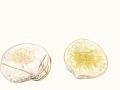 Lycoperdon pratense Pers.:Pers. , Wiesenstäubling, Niedergedrückter Stäubling