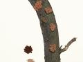Encoelia furfuracea (Roth) Karst. ,  2 , Knäueliger Haselbecher