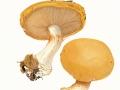 Cortinarius (Phleg.) saporatus  Britz. , Breitknolliger Klumpfuß, Velumflecken-Klumpfuß