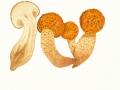 Pholiota aurivella (Batsch:Fr.) Kumm. , Goldfell-Schüppling ,  NPH