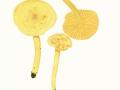 Tricholoma sulphureum (Bull.:Fr.) Kumm. , Schwefel-Ritterling