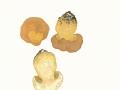 Boletus subappendiculatus Dermek, Lazebn. & J. Veselský , Nadelwald-Anhängselröhrling , NPH