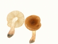 Tricholoma ustale  (Fr.) Kumm. , Brandiger Ritterling