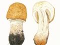 Agaricus augustus  Fr. , Braunschuppiger Riesen-Egerling