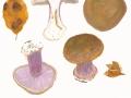 Cortinarius (Phleg.) purpurascens (Fr.) Fr. , Purpurfleckender Klumpfuß