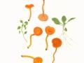 Hygrocybe miniata (Fr.:Fr.) Kumm. , Mennigroter Saftling