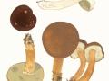 Xerocomus badius (Fr.) Kühner ex Gilb. , Maronen-Röhrling , Marone