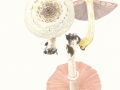 Agaricus xanthoderma Genev. , Karbol-Egerling , Veränderlicher Karbol-Egerling