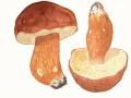 Boletus pinophilus Pilát & Dermek , Kiefern-Steinpilz , 2