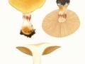 Cortinarius (Phleg.) olearioides Rob. Henry , Safran-Klumpfuß