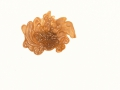 Tremella foliacea (Pers.:Gray) Pers. , Blattartiger Zitterling