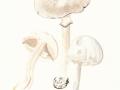 Agaricus sylvicola (Vittad.) Peck , Dünnfleischiger Anis-Egerling