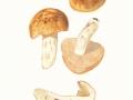 Russula foetens Fr. , Stink-Täubling