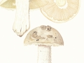 Amanita strobiliformis (Paulet) Bertill. , Fransiger Wulstling