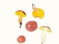 Aureoboletus gentilis (Quél.) Pouzar , Goldporiger Röhrling , Lachsroter Schmierröhrling