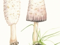 Coprinus comatus (O.F. Müll.:Fr.) Pers. , Schopf-Tintling