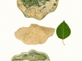 Coriolopsis trogii (Berk.) Domanski , Blasse Borstentramete