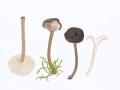 Cantharellula umbonata (J.F.Gmel.:Fr.) Singer , Rötender Gabelblättling , Rötender Scheinleistling