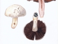 Agaricus campestris L.:Fr. , Wiesen-Egerling