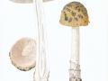Amanita ceciliae (Berk. & Broome) Bas , Riesen-Streifling