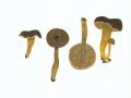 Cantharellus tubaeformis (Bull.:Fr.) Fr. , Trompetenpfifferling , Durchbohrter Leistling