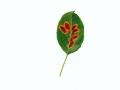 Gymnosporangium sabinae (Dickson) Winter , Birnengitterrost