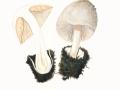 Volvariella gloiocephala (DC.:Fr.) Boekhout & Enderle , Großer Scheidling