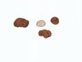 Balsamia polysperma Vittad. , Breitsporige Balsamotrüffel
