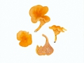 Cantharellus friesii  Quél. , Samtiger Pfifferling , Fries'scher Pfifferling , NPH