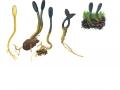 Cordyceps ophioglossoides (Ehr.) Link , Gewöhnliche Hirschtrüffel-Kernkeule