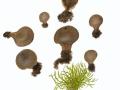 Lycoperdon lividum Pers. , Kastanienbrauner Stäubling , Graubrauner Grasland-Stäubling