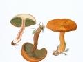 Boletinus cavipes (Klotsch in Fr.) Kalchbr. , Hohlfuß-Röhrling , NPH