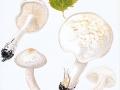 Tricholoma stiparophyllum (S. Lundell) Karst. , Weißer Ritterling , NPH