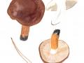 Tricholoma batschii  Gulden , Fastberingter Ritterling