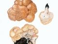 Albatrellus confluens (Alb. & Schwein.) Kotl. & Pouzar , Semmel-Porling ,  NPH