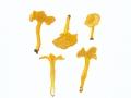 Cantharellus tubaeformis fm. (Bull.:Fr.) Fr. , Trompetenpfifferling, Durchbohrter Leistling , gelbe Form , NPH