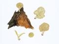 Chrysomphalina grossula
