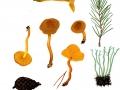 Cortinarius croceus