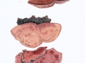 Hapalopilus rutilans