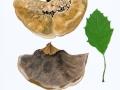 Inonotus cuticularis