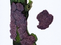 Peniophora quercina