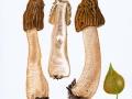 Verpa bohemica