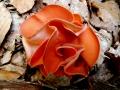 Aleuria aurantia, Orangebecherling