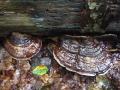 Ganoderma lipsiense, Flacher Lackporling (2)